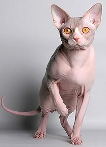 Канадский Сфинкс - Кошка с другой планеты?  Godz Jhonny Jump Up of AprioriNaked.